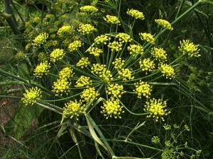 a fennel closeup