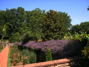 a lavender bed above rose garden