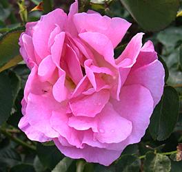 a lillian austen old flower