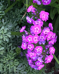a purple phlox n rue 2