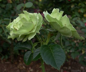 a rose Greensleeves