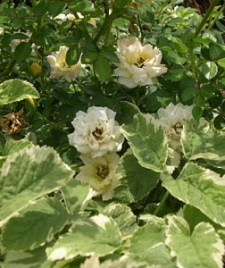 a rose a bishops weed