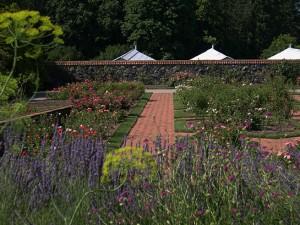 a rose garden thru lavender