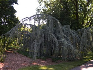 a weeping blue atlis cedar