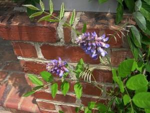 a wisteria