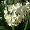 Narcissus Grand Primo cluster