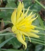 Narcissus Rip van Winkle double
