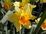 Narcissus juanita naturalizing 2