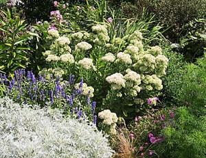Sedum in Garden