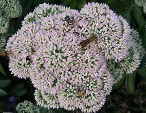 Sedum with bugs