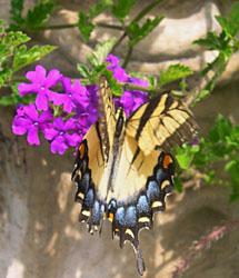 Verb  Yel swallowtail
