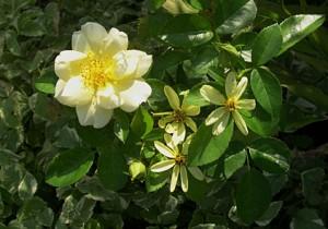 Yel patio rose Coreopsis Bishops weed
