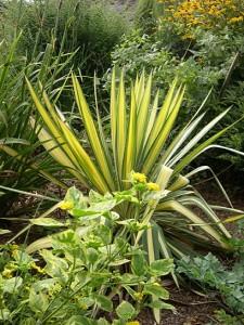 Yucca and lantana 3