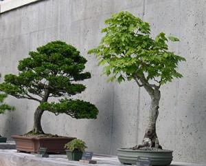 a 2 bonsai