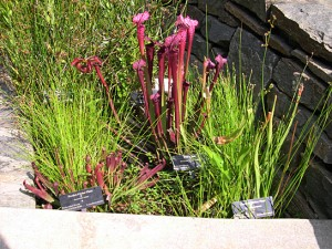 a pitcher plants