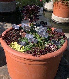 a pot of succulents sedum