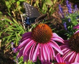 conefl n bl swallowtail 2