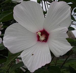 hibiscus pistil 3