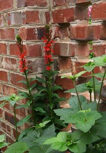 lobelia red SG