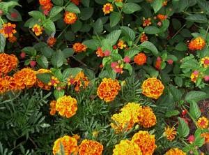 marigolds n lantana closeup