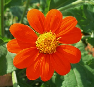 tithonia close up