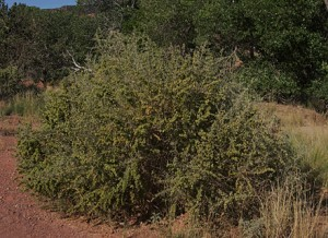 4 wing saltbush bush
