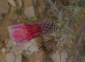 Arizona thistle 2