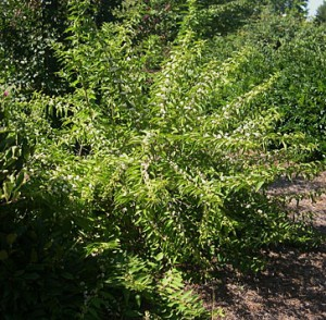 Calacarpa bush