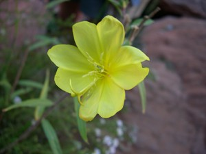 Camisonia flower