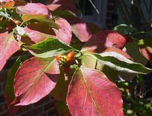 Dogwood leaf n berries