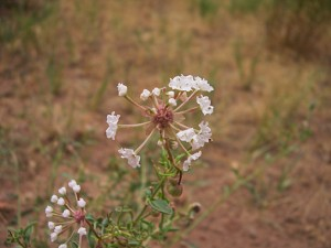 Fragrant sand verbena Abronia fragrans