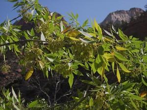 Fraxinus velutina Velvet ash
