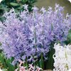 Hyacinth Festival Blue