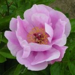 May_Lilac_sm
