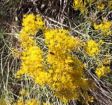 Rubber rabbitbush lowers