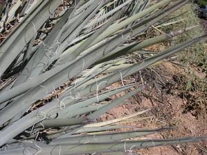 Yucca baccata leaf