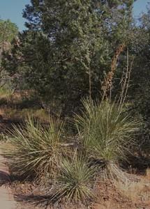 Yucca utahensisjpg