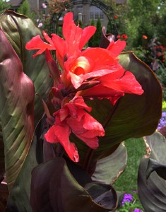 a canna Futurity in container 2