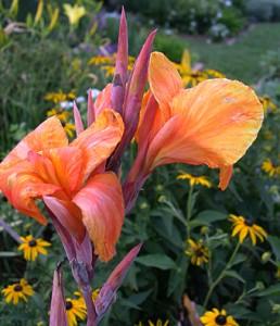 a canna pretoria or flower