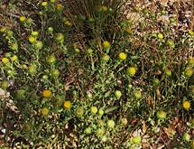 bush encelia bush