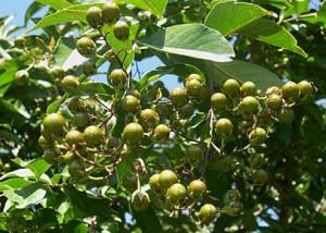 crape mrytle berries