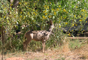 deer eating sunflower
