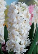 hyacinth Madam Sophie