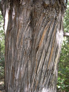 juniper  bark