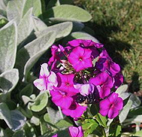 phlox n bee