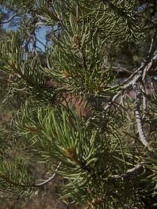 pinyon pine close