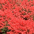 Euonymous alata burning bush large