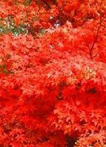 Japanese-Maple-Tree-Acer-palmatum-Osakazuki