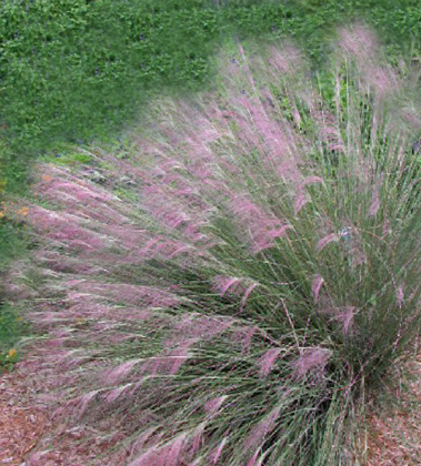Muhly grass purple canadian gardening for Canadian gardening tips