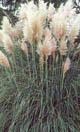 Pampas grass 2